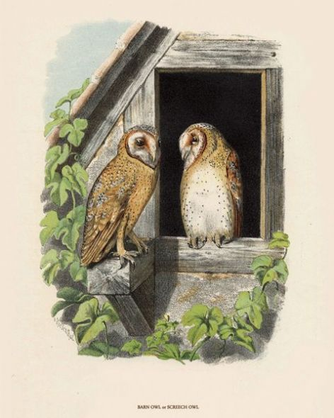 Fine Art Print of the Barn Owl or Screech Owl by O V Riesenthal (1876)